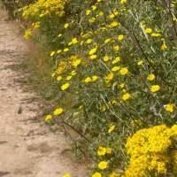 Ragwort - One of many invasiv weeds in the UK