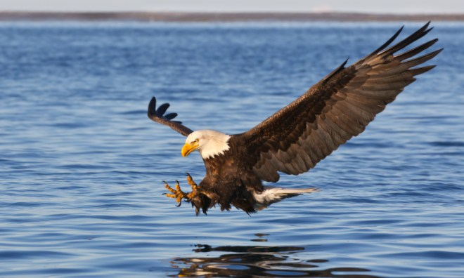american bald eagle lake buchanan