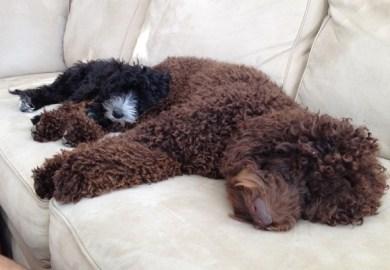 Australian Cobberdog Puppies For Sale In Il