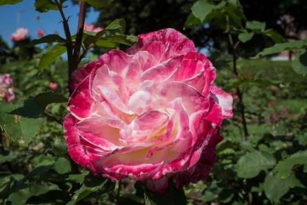 Karl Switzer Rose Circle