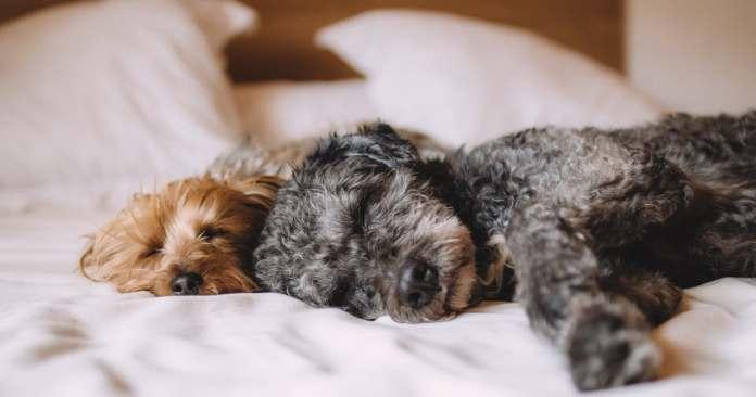 HighTechDad Sleep Tips & California Design Den Sheets - dogs sleeping