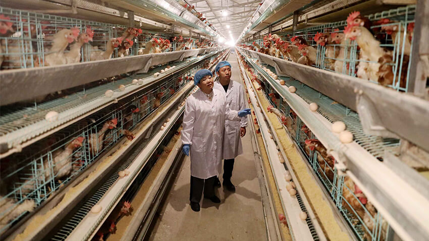 10 Amazing Easy to Follow Steps How to Make a Poultry Farm Business Plan