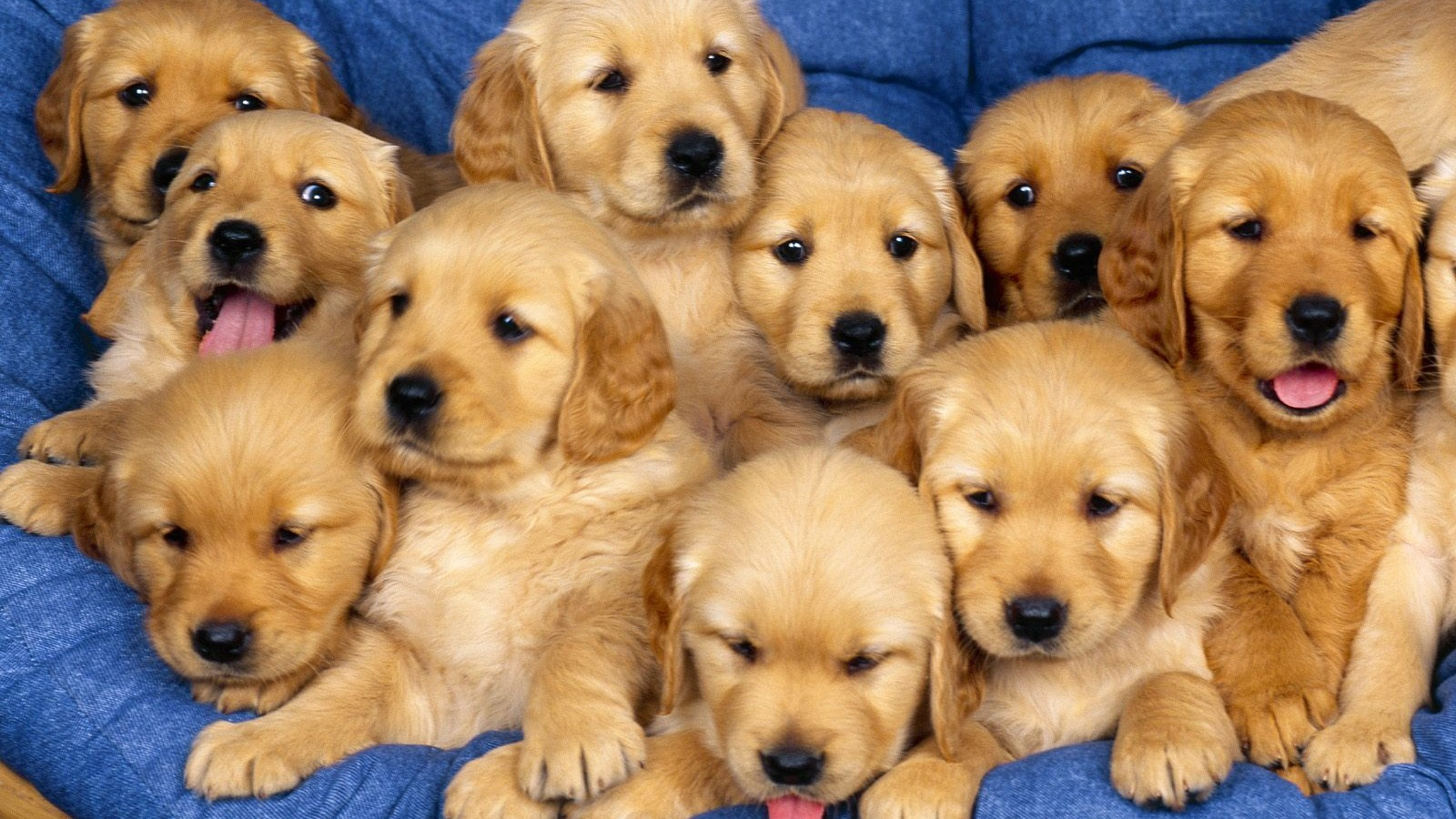 Cute Wallpapers Of Dogs And Puppies Cute Labrador Puppies Hd Wallpaper