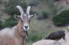 Goat walk in Lander, WY