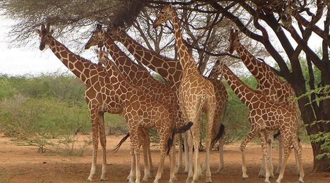 Somali Giraffes in Garissa. PHOTO | SOMALI GIRAFFE PROJECT