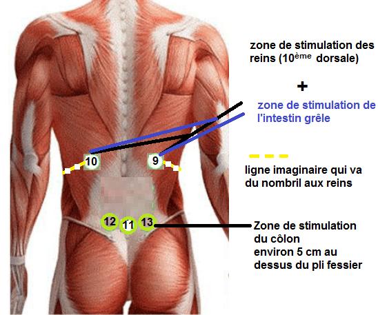 localisation intestin grêle,colon,reins