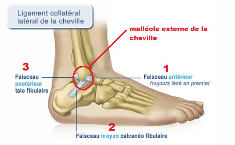 ligaments-cheville