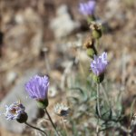 Mojave Aster