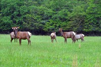 Elk in the Cataloochee Valley - 090517