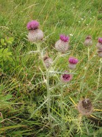 Cotswold Way - Thistle