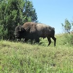 Bison in THRO
