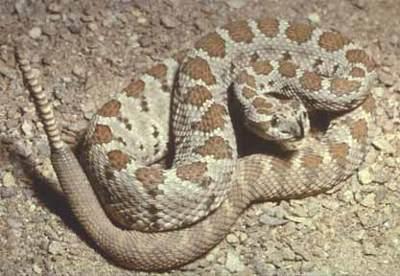 https://i0.wp.com/www.hikethegeek.com/LA/Images/Animals/Rattlesnake.jpg