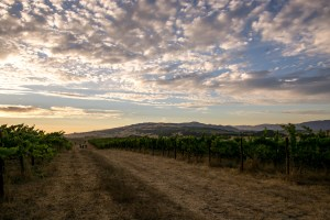 Sunset Walk Through the Vineyards - Sonoma Valley | Hike Then Wine