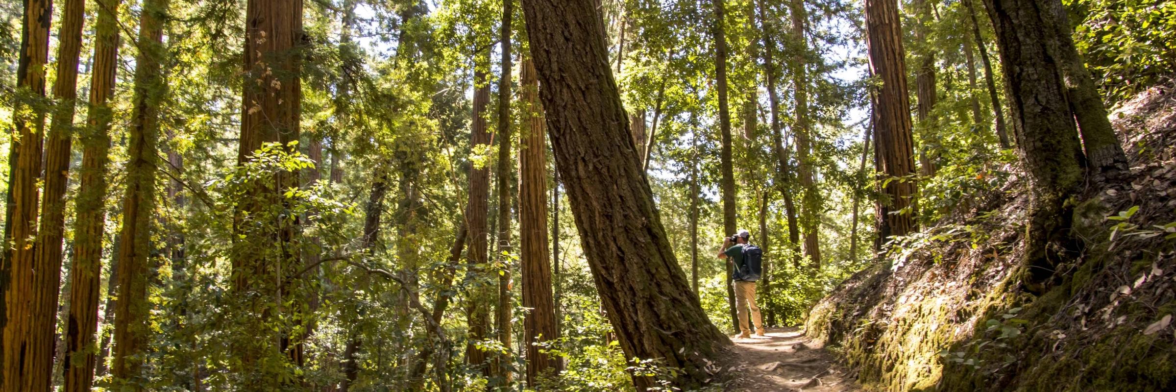Sunset Trail Big Basin Redwoods SP Santa Cruz