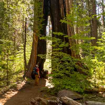 Camping with Giant Sequoias at Calaveras Big Trees State Park