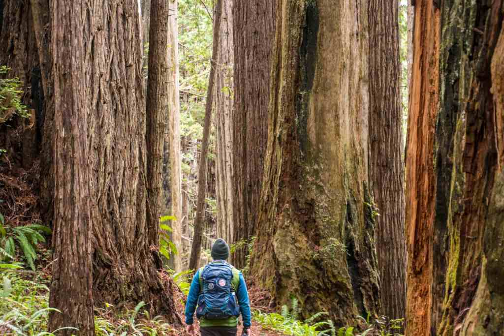 giant redwoods on the trail