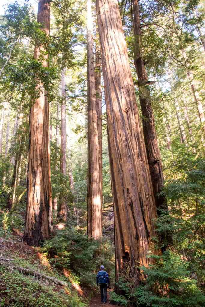 redwoods with hiker