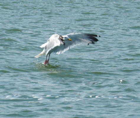 Preacher Gull