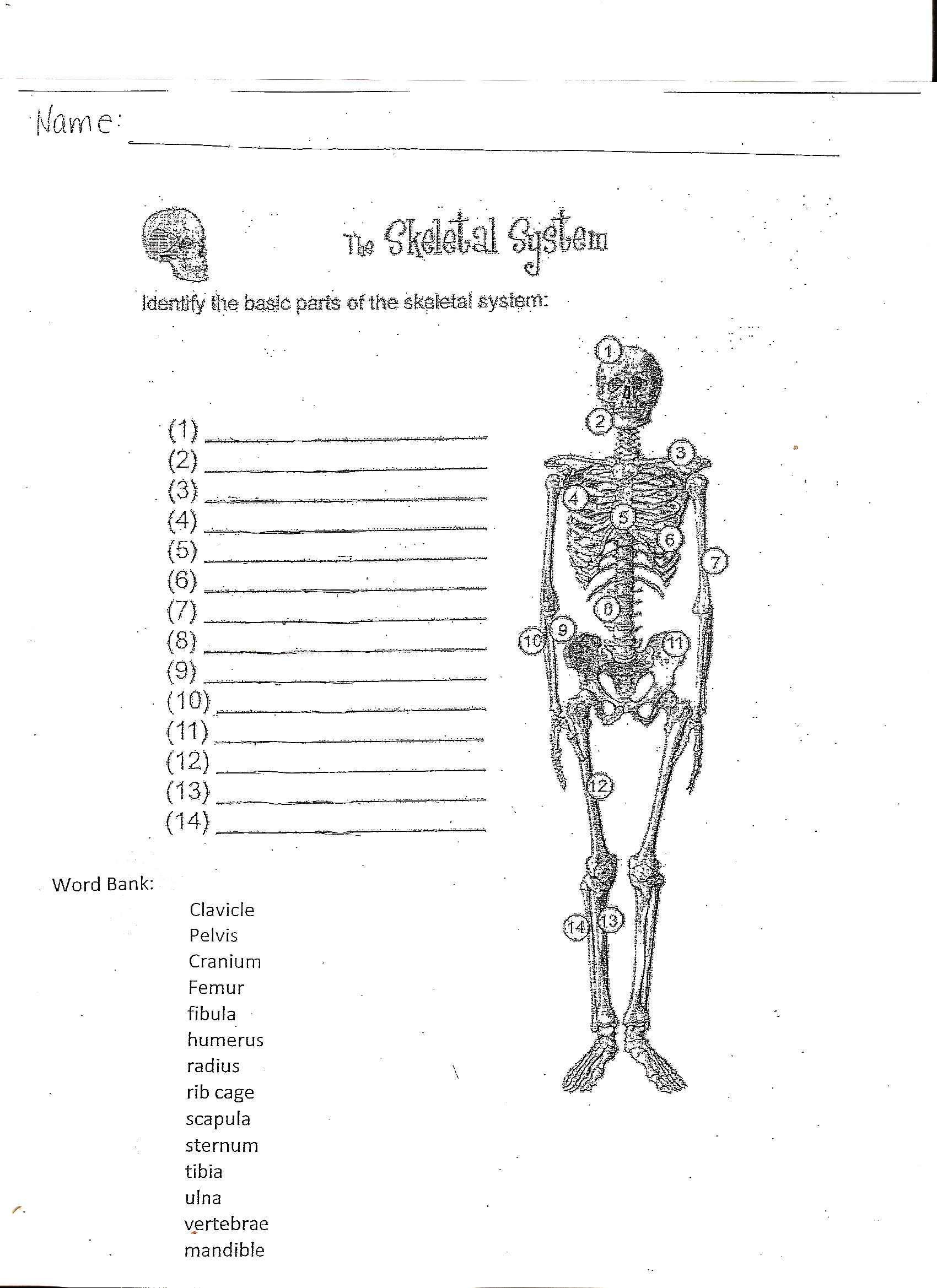 Worksheet Human Skeletal System