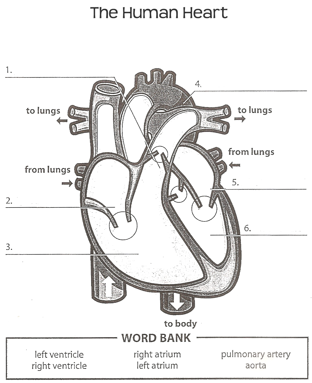 Human Heart Worksheet