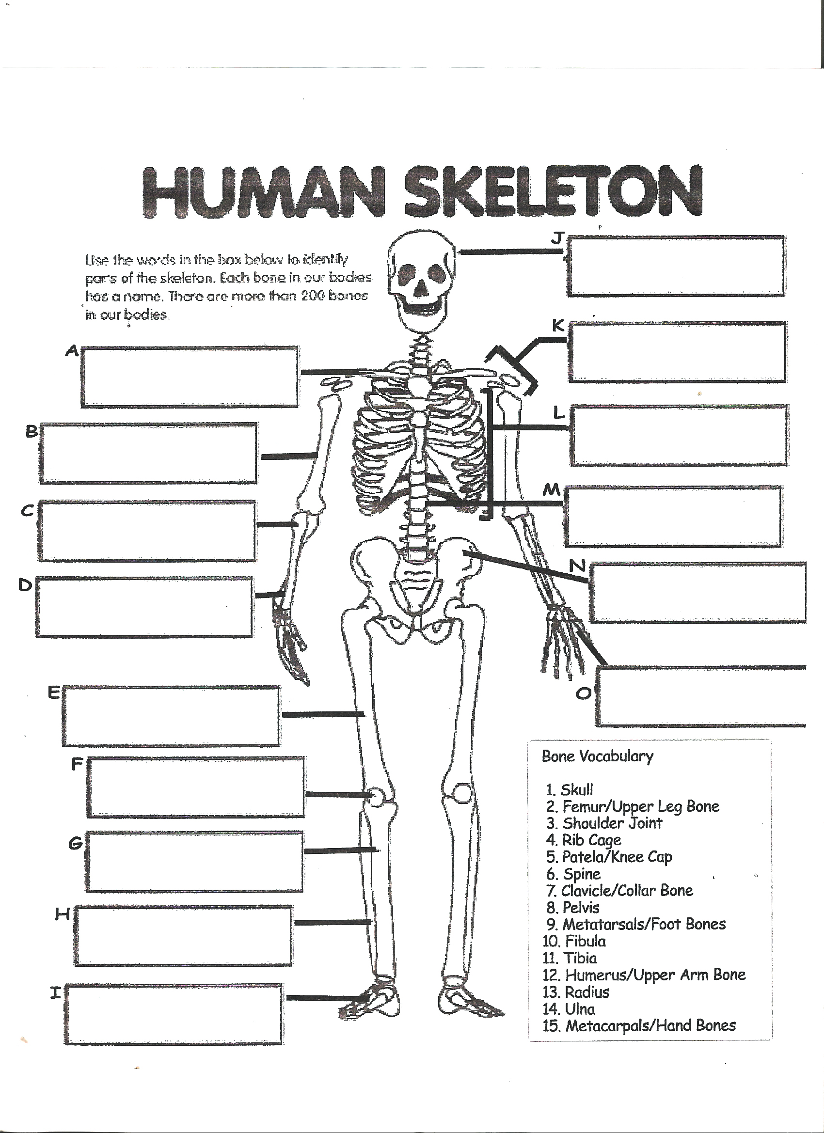 Cat Skeleton Worksheet