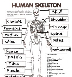 Human Skeleton Worksheet Answers   Printable Worksheets and Activities for  Teachers [ 2338 x 1700 Pixel ]