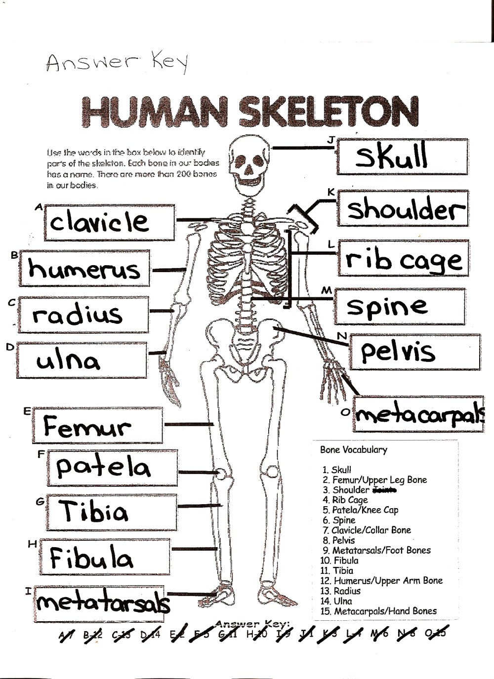 medium resolution of Human Skeleton Worksheet Answers   Printable Worksheets and Activities for  Teachers