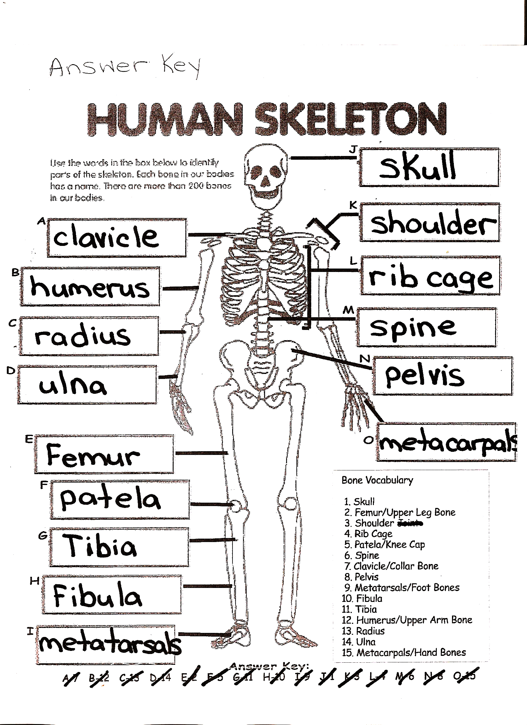 hight resolution of Human Skeleton Worksheet Answers   Printable Worksheets and Activities for  Teachers