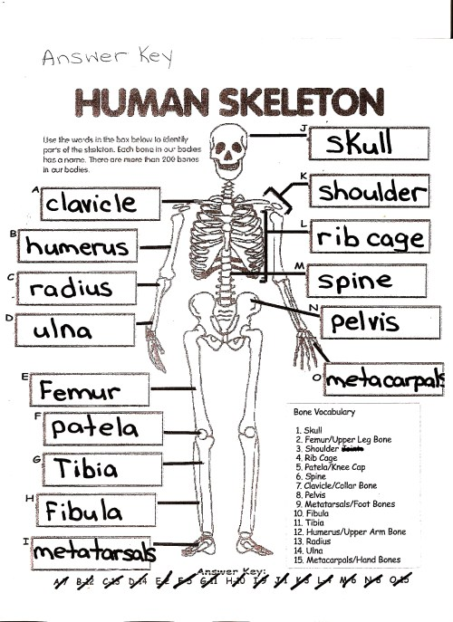 small resolution of Human Skeleton Worksheet Answers   Printable Worksheets and Activities for  Teachers