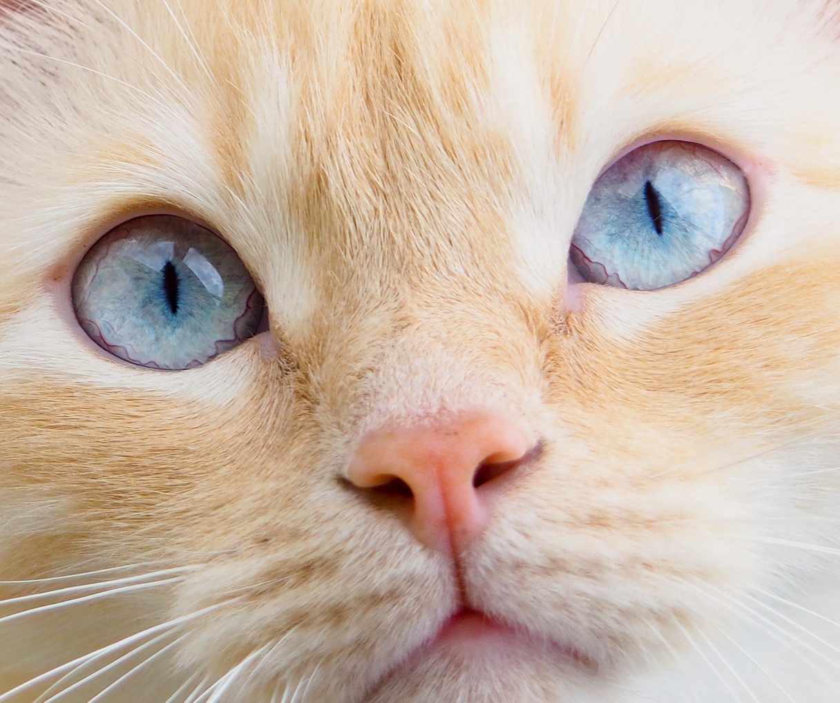 can cats get conjunctivitis
