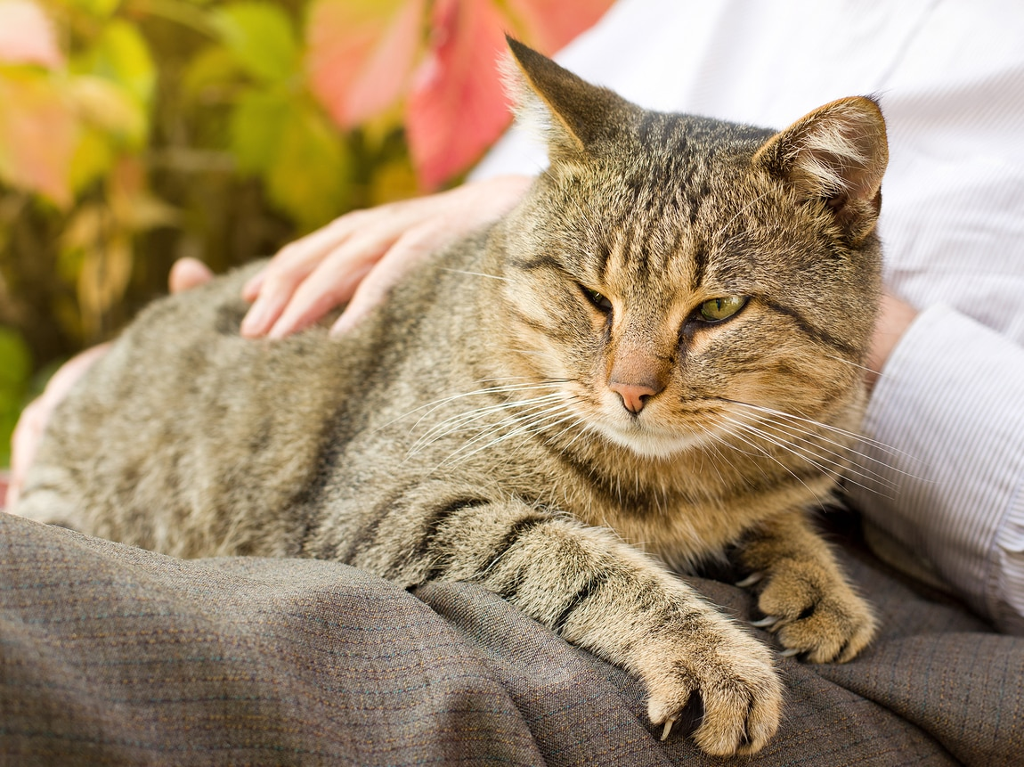 Tabby cat lays on human's lap while being pet.