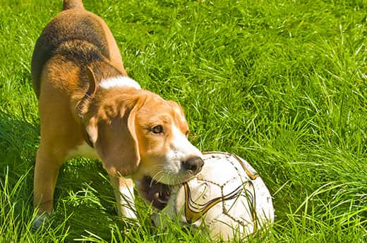 Puppies Playing Soccer