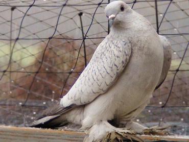 Hilltopfarms Ice Pigeon