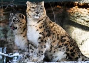 Snow Leopard at Bandli Wildlife Sanctuary