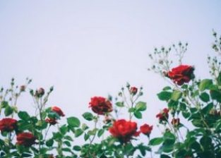 rose garden at ooty