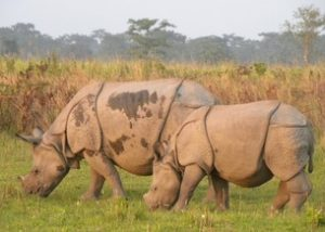 one horned rhino in kaziranga national park
