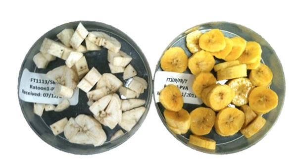 Golden banana India