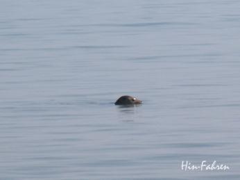 Seehund streckt seinen Kopf aus dem Wasser