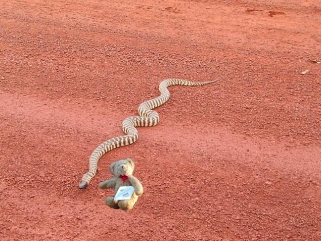 bear-python.jpg