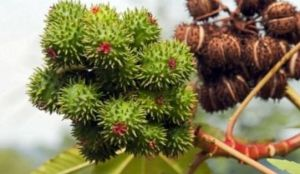 What is Castor oil in hindi