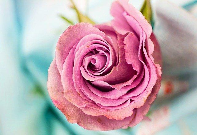 गुलाब दिल फोटो डाउनलोड