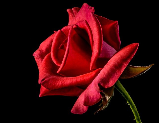 rose photo download love