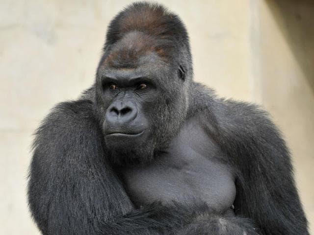 Animal Face Wallpaper Hunky Gorilla In Japan Zoo Is Cynosure Of Women Visitors