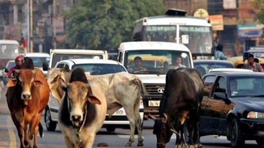 Traffic moves slowly as a group of stray bulls walk on a road in New Delhi.