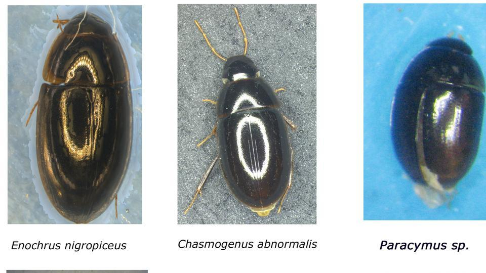 The water beetles' scientific names (from left): Enochrus nigropiceus, Chasmogenus abnormalis, Paracymus Sp, Elmomophes brevicornis, Hydrocanthus guinuoti, Helochares atropiceus.