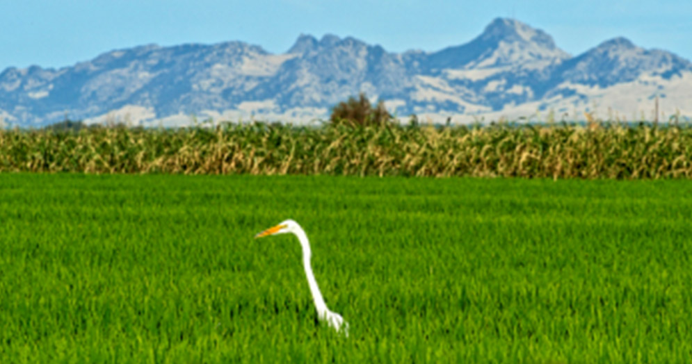 Hinode Rice Fields Are Truly For The Birds