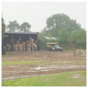 beekse bergen giraffen schuilen