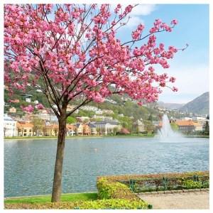 byparken bloesem bergen