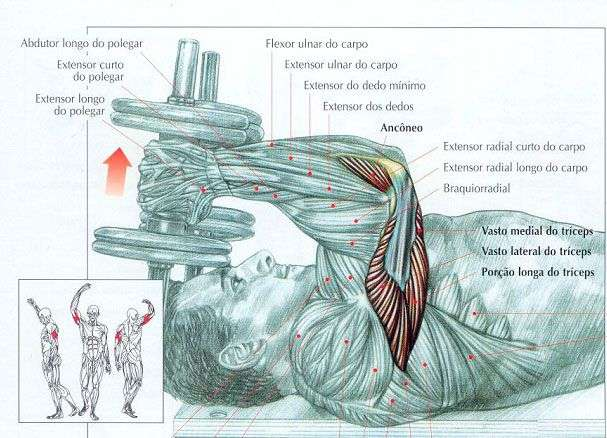 músculos envolvidos durante o tríceps testa