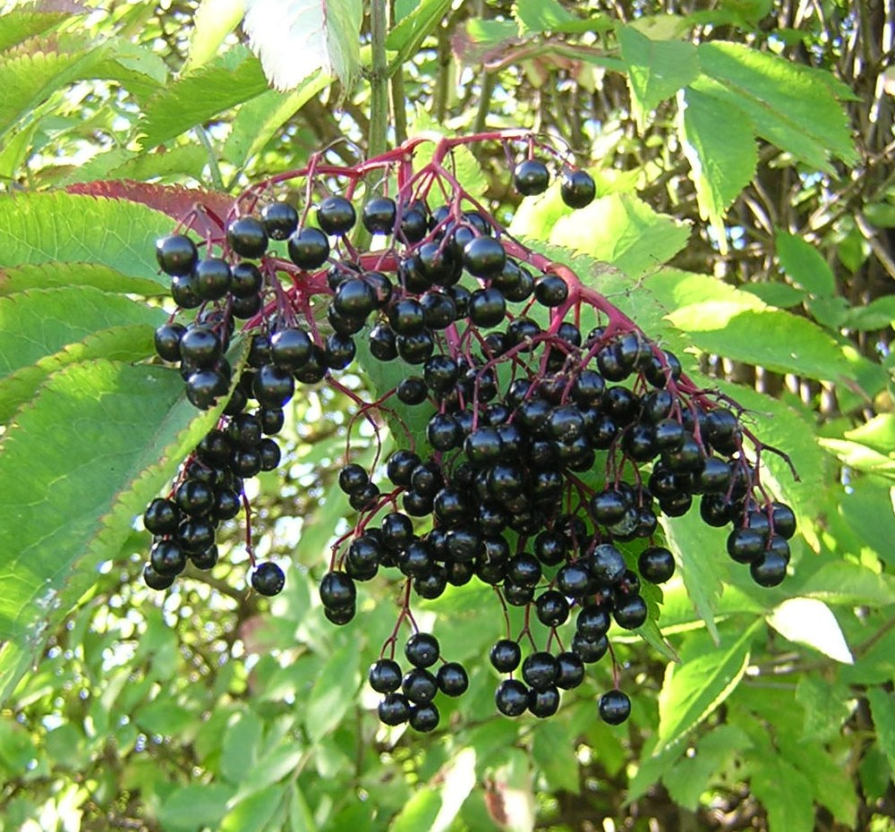 Making your own elderberry syrup